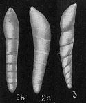 Dentalina neugeboreni