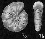 Elphidium oceanicum