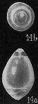 Glandulina laevigata, author: Cedhagen, Tomas