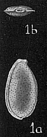 Lagena marginato-perforata