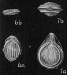 Lagena orbignyana clathrata