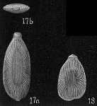 Lagena radiato-marginata