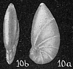 Marginulina crepidula