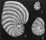Peneroplis planatus
