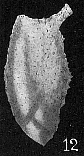 Pyrulina extensa