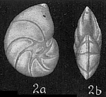 Robulus gibbus