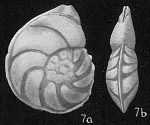 Robulus larvus