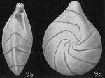 Robulus nigriseptus, author: Cedhagen, Tomas