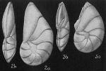 Robulus reniformis