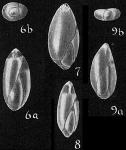 Sigmomorphina semitecta var. terquemiana