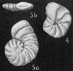 Spirolina arietina