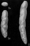 Loxostomum mayori