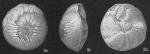 Amphistegina madagascariensis