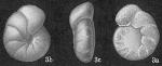 Cibicides cicatricosus