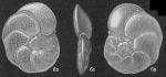 Cibicides floridanus
