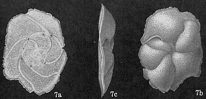 Cibicides mayori