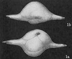 Ehrenbergina bicornis