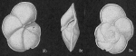 Globorotalia menardii var. ungulata