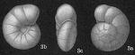 Gyroidina lamarckiana, author: Cedhagen, Tomas