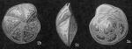 Hoeglundina elegans, author: Cedhagen, Tomas