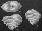 Patellinella carinata