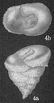 Patellinella fijiana