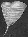 Patellinella inconspiqua