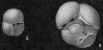 Sphaeroidinella dehiscens
