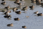 Curlew Sandpiper (Calidris ferruginea)