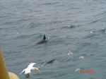 Orcinus orca in the Northern North Sea
