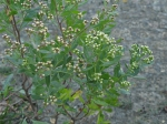 Baccharis halimifolia - IJzermonding