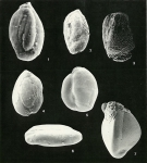 Protozoans
