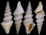 Spirotropis monterosatoi