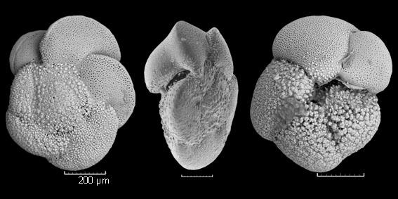 Globorotalia crassaformis imbricata
