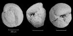 Globorotalia crassaformis ronda