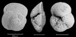 Globorotalia crassaformis viola