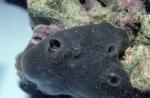 Amphimedon queenslandica
