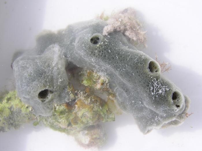 Amphimedon queenslandica 2