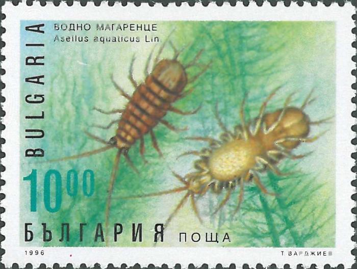 Asellus (Asellus) aquaticus