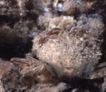 Picture of Liocarcinus arcuatus (Leach, 1814)