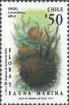 Loxechinus albus