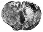 Laticlypus giganteus