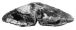 Laticlypeus giganteus