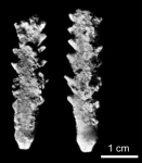 Minicidaris minihagali