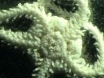 Amphipholis tuberosa