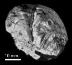 Schizaster minihagali