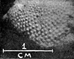 Strongylocentrotus minihagali