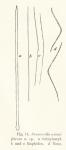 Desmacella arenifibrosa Hentschel, 1911