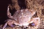 Liocarcinus depurator