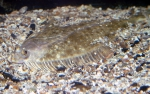 Platichthys flesus